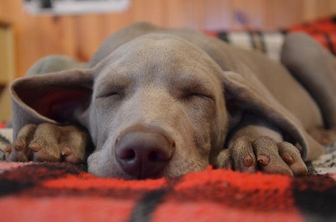 כמה שעות צריך לישון כלב